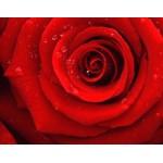 Fototapet Trandafiri No.37